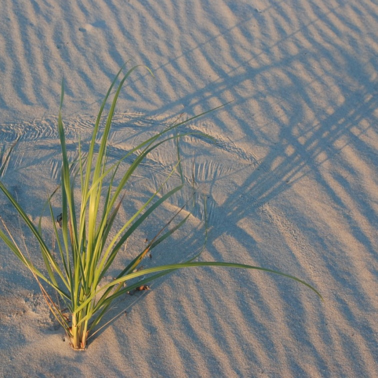 Westport Beach Grass