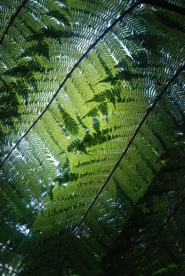 Tree Fern - New Zealand