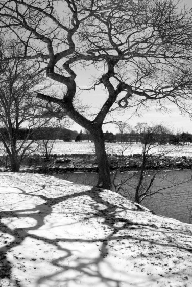 Westport Tree & Shadow