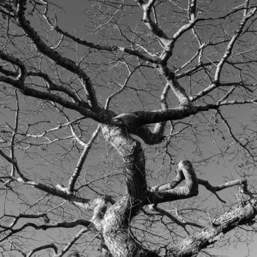 Westport tree